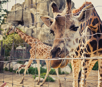 giraffe at zoo - 404 x 346